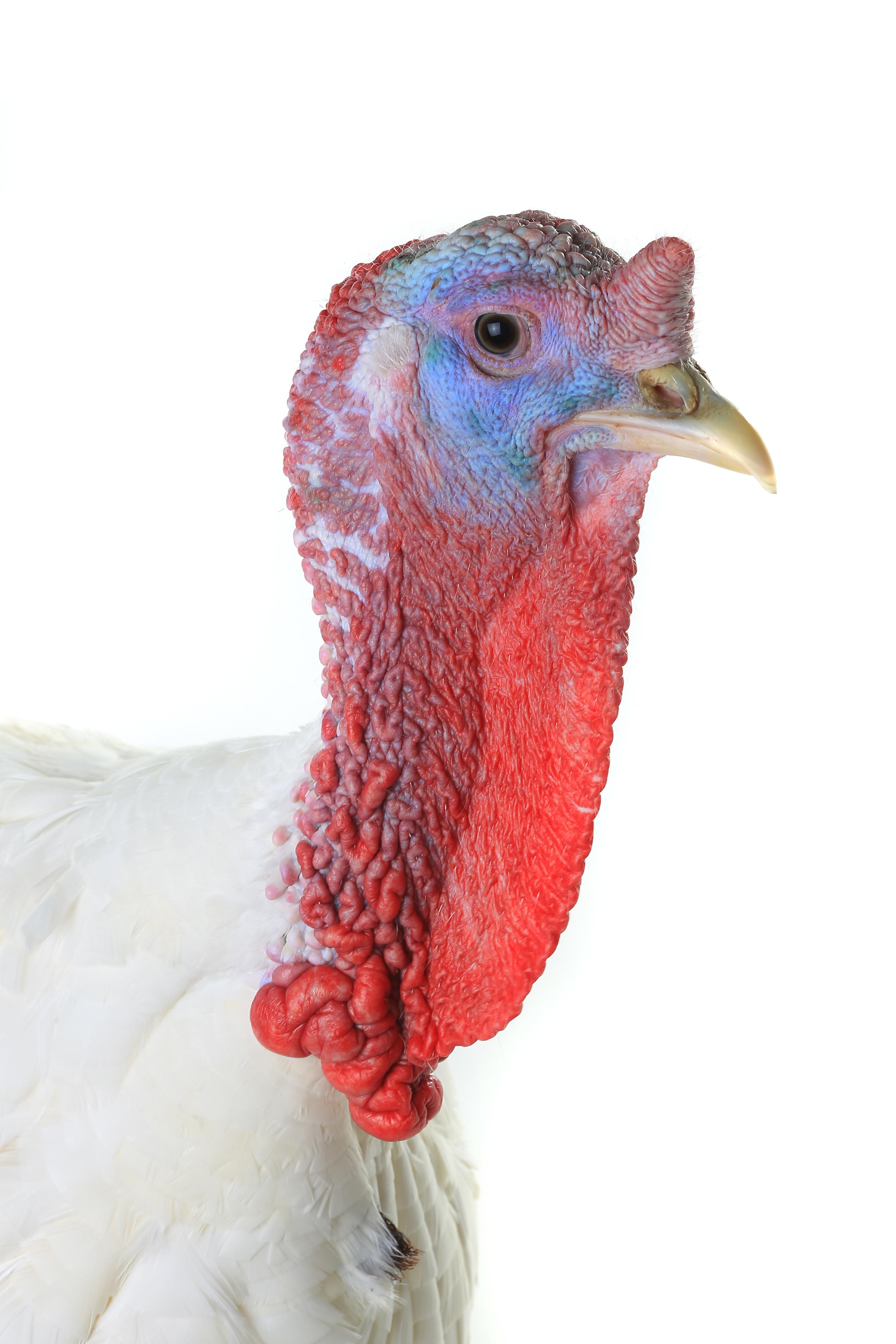how to cook turkey nexk